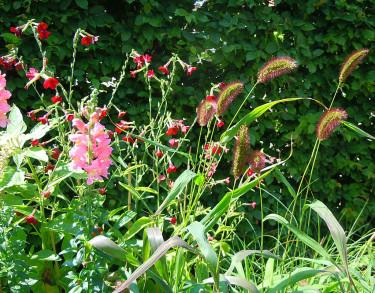 Kavelhirs, _Setaria viridis_ 'Caramel' med flera. Foto: Sylvia Svensson