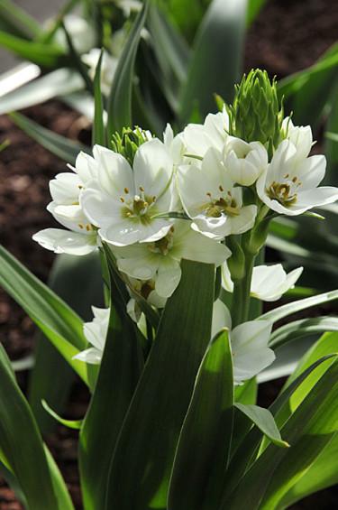 _Ornithogalum oligophyllum_. Foto: Bernt Svensson