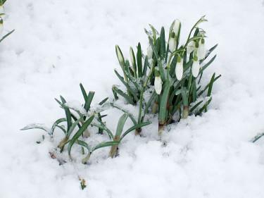 Ännu kan det bli bakslag med snö. Foto: Bernt Svensson