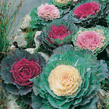 Prydnadskål, _Brassica oleracea acephala_, 'Tokyo Mixed'.   Foto: Mr Fothergill's