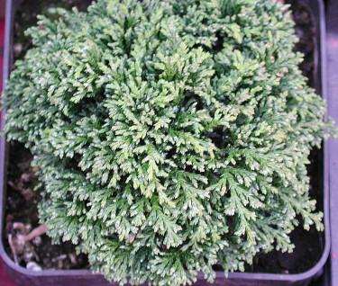 Ärtcypress, _Chamaecyparis pisifera_, 'Tsukumo', är en liten, rund sort. Foto: Sylvia Svensson