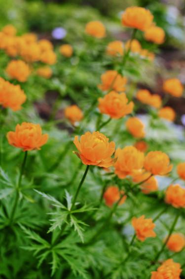 Orange smörboll, _Trollius.asiaticus_.