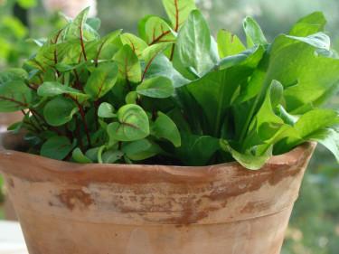 På balkong och terrass kan du odla sallat och bladgrönt i kruka. Foto: Katarina Kihlberg