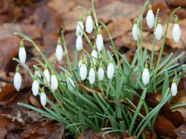 Snödroppar! Det dröjer inte så många månader tills de blommar... Foto: Sylvia Svensson