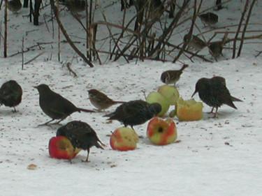 Fåglar äter gärna äpplenFoto: Sylvia Svensson