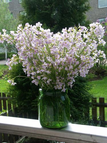 Ängsbräsma, _Cardamine pratensis_, brukar blomma ymnigt så här års.