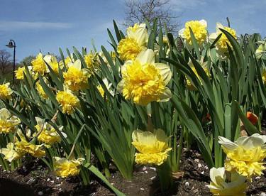 _Narcissus_ 'Duet'.