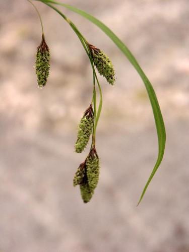 _Carex pendula_ 'Majken'.  Foto: Sylvia Svensson