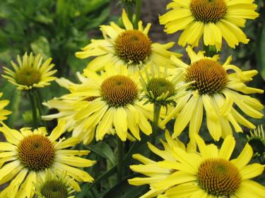 Gul solhatt, _Echinacea purpurea_, 'Cleopatra' är härligt solgul! Foto: Perennagruppen