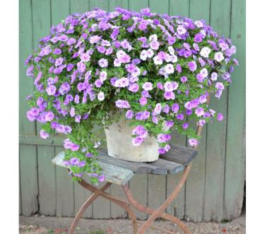 Småpetunia. Foto: Blomsterfrämjandet