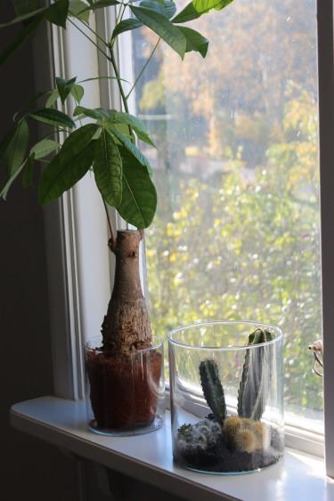 Flaskfot och katusar trivs utmärkt i ett söderfönster // Foto: Anna Theorin