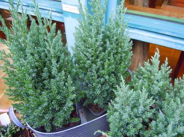 _Juniperus chinensis 'Stricta'_, kinesisk en Foto: Sylvia Svensson
