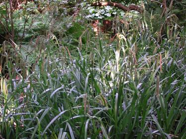 _Carex pendula_. Foto: Sylvia Svensson