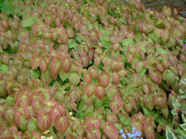 Sockblomman har mycket dekorativa blad som täcker marken helt,