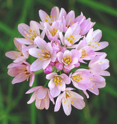 _Allium roseum_ har fått namnet 'Rosy Garlic' i England. Det är en gammal art av vitlök som nu erövrar våra trädgårdar.