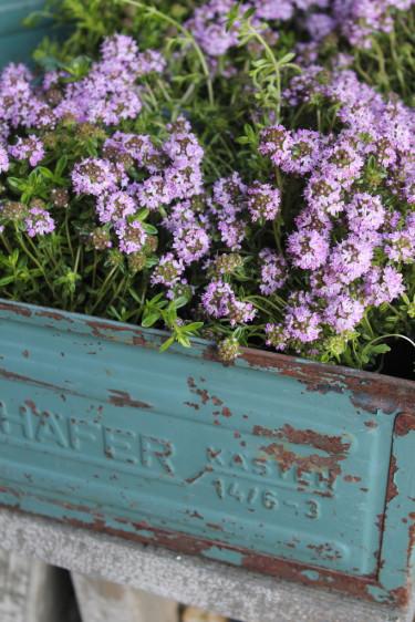 Timjan i blom. Foto: Blomsterfrämjandet.
