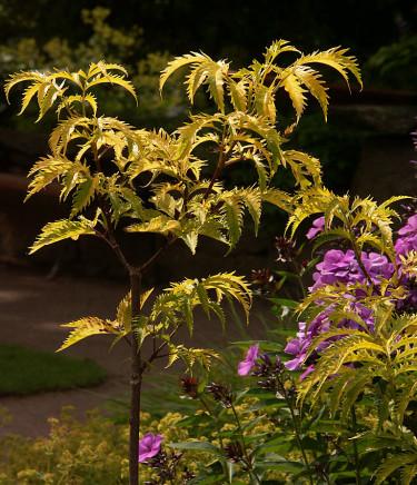 _Sambucus racemosa_ 'Sutherland Gold', flikbladig druvfläder. Foto: Sylvia Svensson