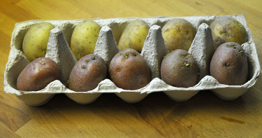 Potatis på förgroning.Foto: Bernt Svensson