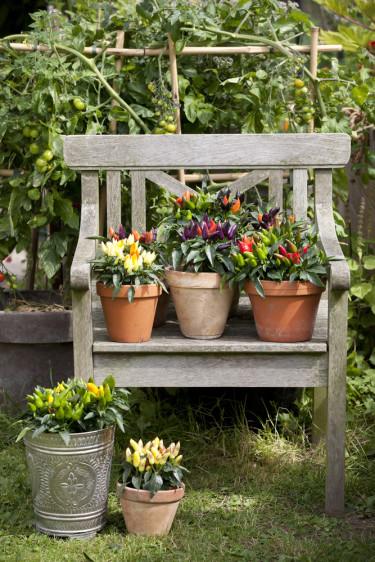 Till sensommarträdgården rekommenderas t.ex. Solanum och Capsicum. Foto: Floradania