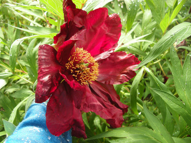 Enkel, jättestor blomma på buskpion.  Foto: Sylvia Svensson