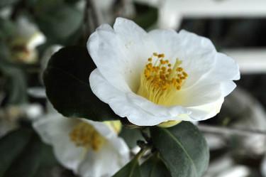 _Camellia japonica_, enkel vit Foto: Bernt Svensson