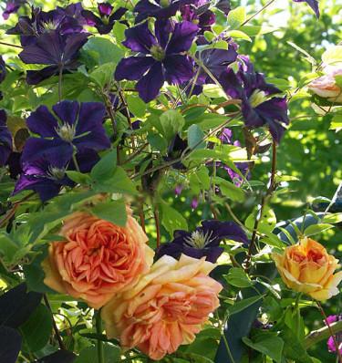 Rosen 'Alchymist med Clematis 'Etoile Violette'