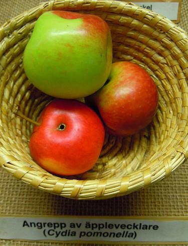 Skador av äpplevecklare. Foto: Sylvia Svensson