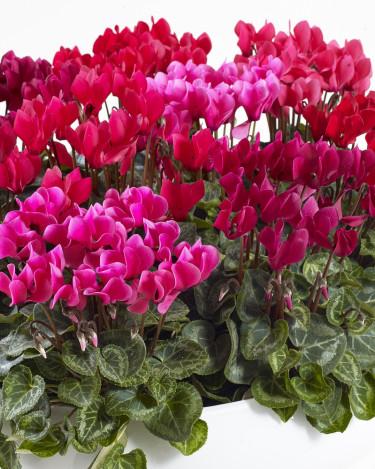 Från rosa till rött. Foto: Floradania