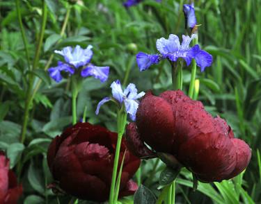Pion 'Buckeye Belle' med iris. Foto: Bernt Svensson