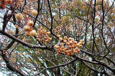Sorbus aucuparia var. xanthocarpa