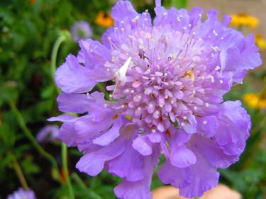 Fältvädd, Scabiosa 'Butterfly Blue'.Foto: Sylvia Svensson