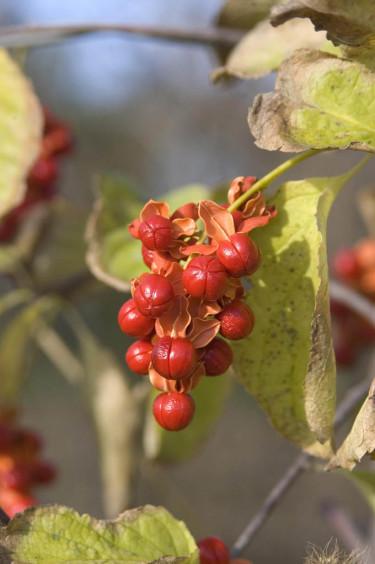 Amerikansk träddödare, _Celastrus scandens_, 'Autumn Revolution'. Foto: Bailey Nurseries Inc