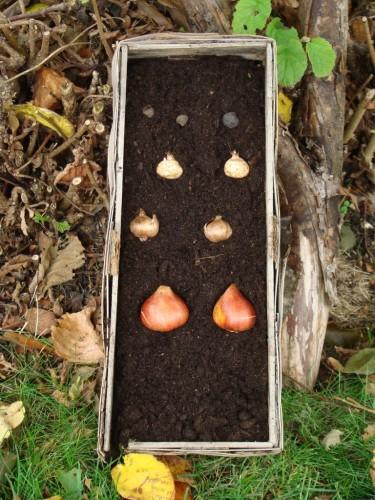 Lökarna gror, söker sig mot ljuset och kommer upp i olika omgångar, från februari ända fram till försommaren.