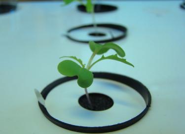 De små sallatsfröna har grott i sin vattenbädd och plantan håller nu på att etablera sig.
