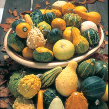 Prydnadspumpa, _Cucurbita & Lagenaria Species_, 'Ornamental Mixed'.  Foto: Mr Fothergill's