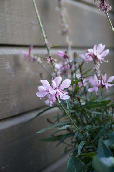 Sommarljus, _Gaura lindheimeri_. Foto: Blomsterfrämjandet.