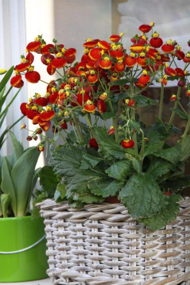 Toffelblomma, _Calceolaria_ 'Calynopsis', i röda toner.   Foto: Blomsterfrämjandet/Selecta