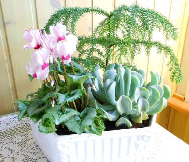 En rosavit minicyklamen med silvermönstrade blad, en silvergrå _Echeveria_-hybrid och en rumsgran, _Araucaria heterophylla_.
