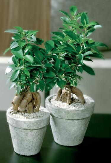 _Ficus microcarpa_, **citronfikus**