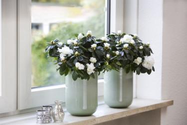 Två likadana eleganta krukor med vintrigt vackra azaleor livar upp i fönsterkarmen.