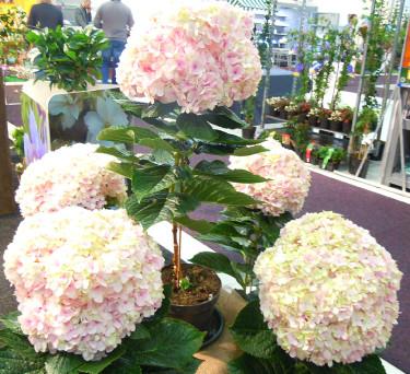 R&G Export: jätteblommig hortensia > 30 cm diam. Foto: Sylvia Svensson