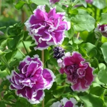 _Petunia x hybrida_ 'Polka', Impecta