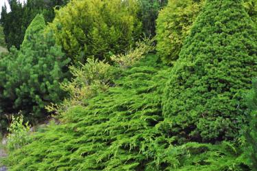 Barrplantering med kryptuja, sockertoppsgran, klottuja, bergtall, japansk järnek och idegran.