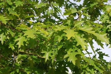 Rödek, _Quercus rubra_ E i sommarskrud. Foto: E-planta