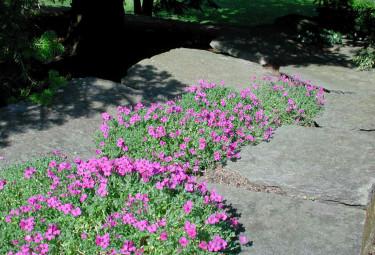 En bred kallmur bildar stenparti med rosa _Aubrietia deltoidea_ i skrevorna.  Foto: Sylvia Svensson