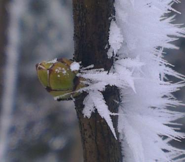 En envis och kraftfull liten knopp strävar mot våren. Foto: Pia Croall