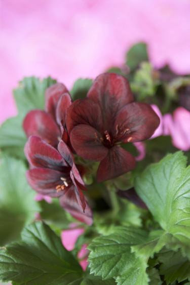 Engelsk pelargon, _Pelargonium x domesticum_. Foto: Blomsterfrämjandet.