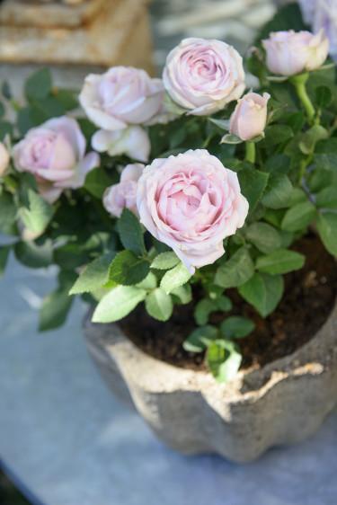 Skir krukros i ljuvt rosa. Foto: Floradania