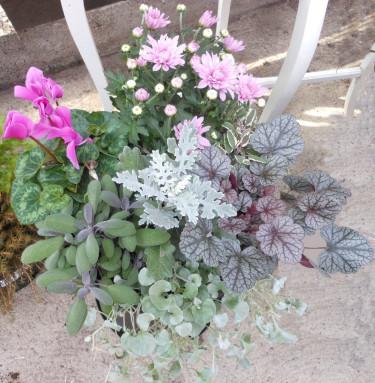 Ljuv plantering med rosa krysamtem och dito cyklamen, revsuga 'Burgundy Glow', silverek, kryddsalviorna 'Tricolor' och 'Purple' samt en silvernjurvinda hängande från kanten. Foto: Sylvia Svensson
