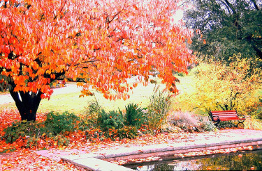 Prunus sargentii 'Rosensky' med höstfärg. Foto: Sylvia Svensson